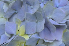 Blue Hydrangea Close Up Stock Images