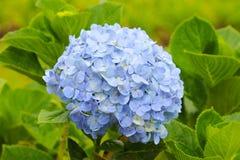 Blue hydrangea Royalty Free Stock Image