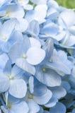 Blue Hydrangea Royalty Free Stock Photos