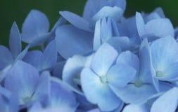 Blue Hydrangea Closeup. Closeup of a hydrangea flower cluster Stock Photos