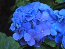 Blue Hydrangea Stock Photo