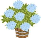 Blue Hydrangea in container. Vector Illustration of Blue Hydrangea in container Royalty Free Stock Images