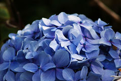 Blue Hydrangea Dome. A dome of blue flowers from a Hydrangea shrub Royalty Free Stock Image