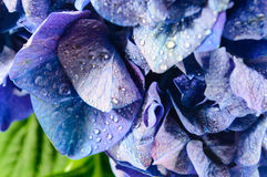 Blue Hydrangea Flower. Stock Photography