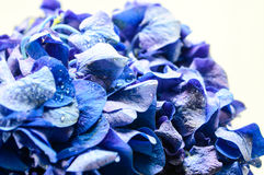 Blue Hydrangea Flower. Royalty Free Stock Images
