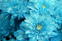 Blue hydrangea flower Royalty Free Stock Images