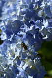 Blue hydrangea flower with bee Stock Images