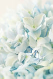 Blue hydrangea flower with color effect Stock Photos