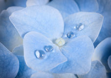 Blue Hydrangea flower with dew Royalty Free Stock Photography