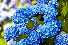 Blue hydrangea flower heads. Royalty Free Stock Photo