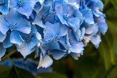 Blue Hydrangea Flower Macro Royalty Free Stock Image