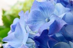 Blue Hydrangea flower macro shot. Royalty Free Stock Photography