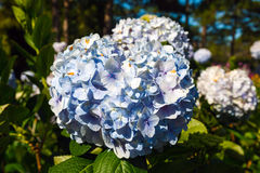 Blue hydrangea flower Stock Photography