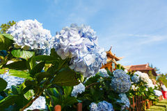 Blue hydrangea flower Royalty Free Stock Photography