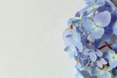 Blue hydrangea. Flower on white royalty free stock photo