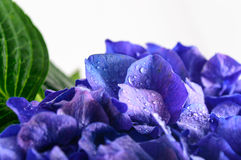 Blue Hydrangea Flower on white background. Stock Images
