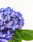 Blue Hydrangea Flower on white background. Royalty Free Stock Images