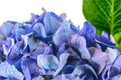 Blue Hydrangea Flower on white background. Royalty Free Stock Photos