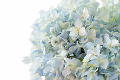 Blue hydrangea flower on white background Royalty Free Stock Images