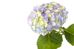 Blue hydrangea flower on a white background with space for text. Stock Photography