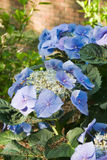 Blue Hydrangea Flowers in a backyard garden during morning hours. Blue hydrangea flowers growing in a southern USA garden during the springtime month of April stock image