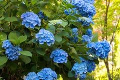 Blue Hydrangea Flowers in Bloom Stock Photos