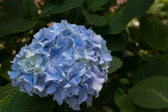 Blue hydrangea flowers Royalty Free Stock Images