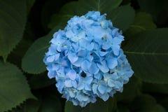 Blue hydrangea flowers Stock Photography
