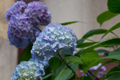 Blue hydrangea flowers Stock Images
