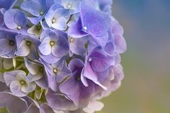 Blue Hydrangea flowers. Fill your heart with joy of spring stock photos