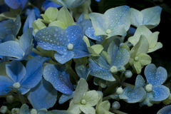 Blue hydrangea. Flowers fragrant in the dew. A beautiful garden plant. Nature. Freshness Royalty Free Stock Photos
