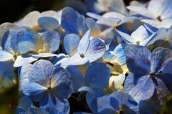 Blue Hydrangea flowers Royalty Free Stock Photo