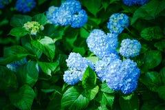 Blue Hydrangea flowers at Mimurotoji Temple (Mimuroto-ji) Garden in Uji City, Kyoto, Japan. Royalty Free Stock Photography