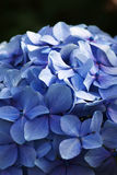 Blue Hydrangea. Flowers in portrait orientation Royalty Free Stock Photo