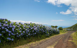 Blue hydrangea flowers on Sao Jorge Stock Photography
