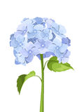 Blue hydrangea flowers. Vector illustration. Royalty Free Stock Images