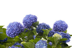 Blue hydrangea flowers. On white background royalty free stock image