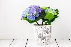 Blue hydrangea flowers Stock Photos