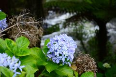 A close-up photo of blue Hydrangea garden hydrangea, or French hydrangea growing in a park stock photo