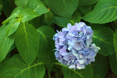 Blue Hydrangea in the garden. Blue Hydrangea in the garden Royalty Free Stock Photos