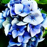 blue hydrangea with green leaves royalty free stock photo