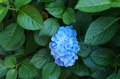 Blue hydrangea in green Royalty Free Stock Photo