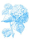 Blue Hydrangea. Hand drawn pen and ink Hydrangea botanical illustration Royalty Free Stock Image