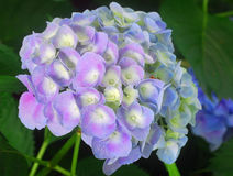 Blue Hydrangea Hortensia flower Stock Photo