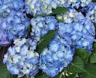 Blue Hydrangea Hortensia flower in color variations ranging from light blue to purple royalty free stock image