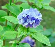 Blue hydrangea, hortensia flower, green plant bush, close up Royalty Free Stock Photos
