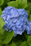 Blue Hydrangea or Hortensia flower Stock Photos