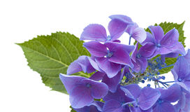 Blue Hydrangea isolated Royalty Free Stock Photo