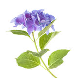 Blue Hydrangea isolated Stock Photography