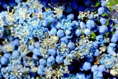 Blue hydrangea macro Stock Images